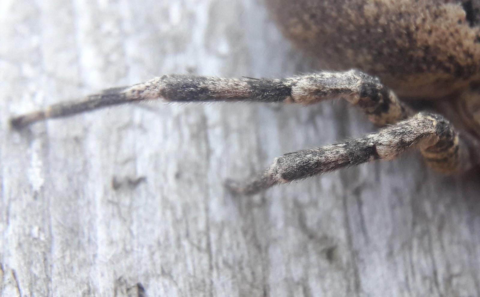 tüskéskezű álfarkaspók nőstény harmadik, negyedik járólába
