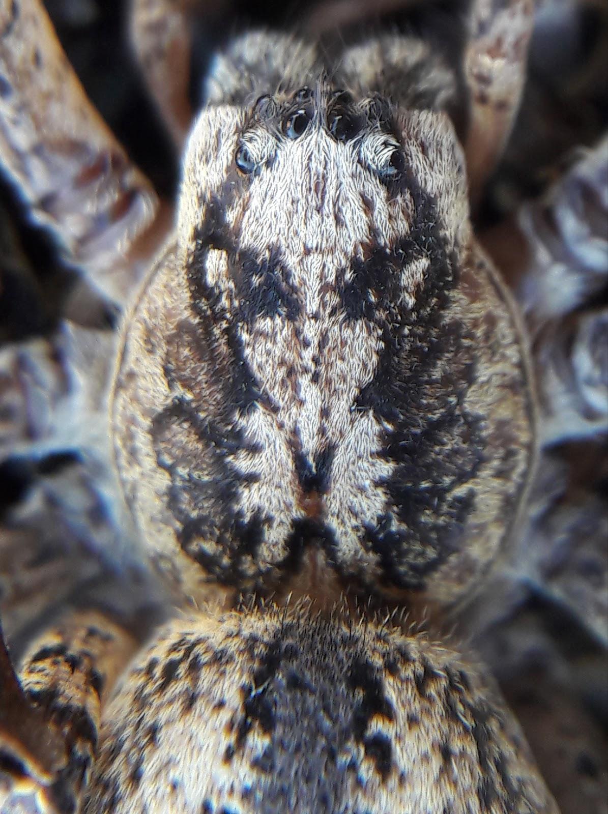 tüskéskezű álfarkaspók nőstény előteste hátoldali nézetből